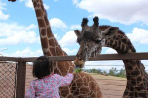 A young girl (probably 5-7 years old) feeding lettuce to a giraffe. The giraffe's blue tongue is outstretched to reach the girls hand.