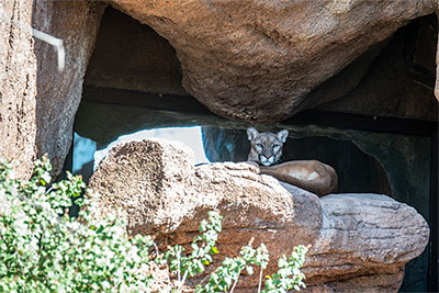 A mountain lion lays on a rock shelf in a museum inclosure and watches the people passing by.