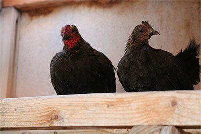 Two hens sit in a wooden enclosure. Their feathers are black with the exception of some bright red coloring around their face.