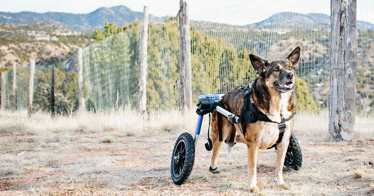 PHOTO: A German Shepard-blue heeler mix stands in a grassy field. The dog wears a harness that connects to a two-wheel device that he uses to get around. The dog's hind feet have boots on them to prevent his feet from dragging on the ground when he goes. Photo by Jesse Friedin.